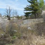 Serviceberries near Kaladar, Ontario