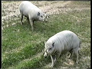 2001.08.26-020 babiroussas
