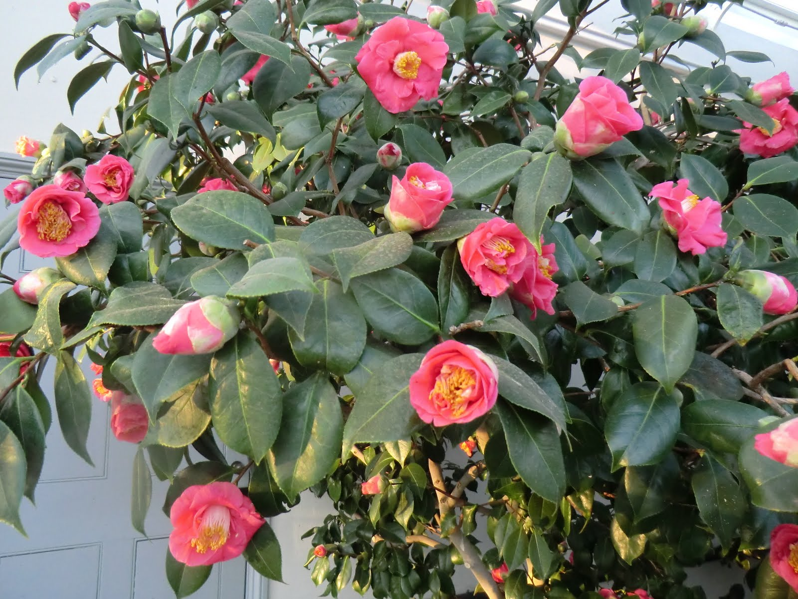 CIMG2411 Camellias in the Conservatory, Chiswick House
