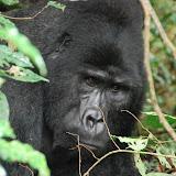 Uganda and Mountain Gorillas