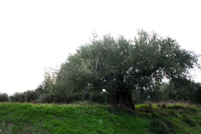 olivar-monumental-Calasparra02