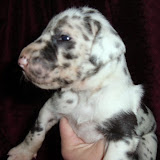 harlequin female @ 2 1/2 weeks/available