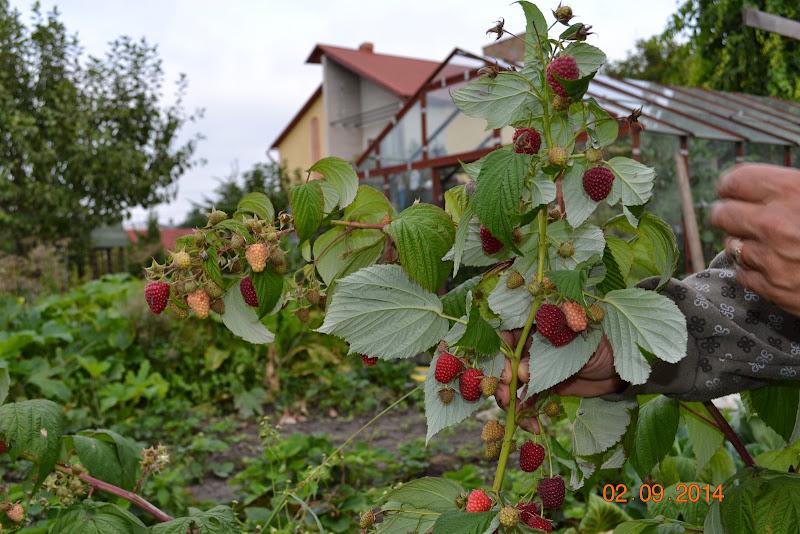 малина Полка возле дома