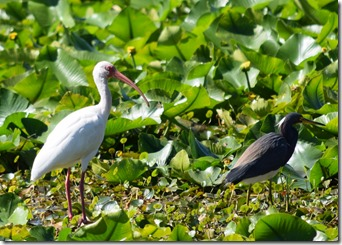Ibis and Heron-2