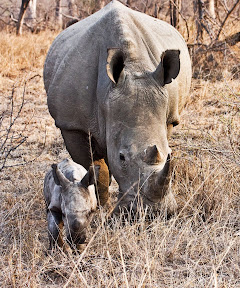 Rhino Mother and 3 Day Old Baby, South Africa