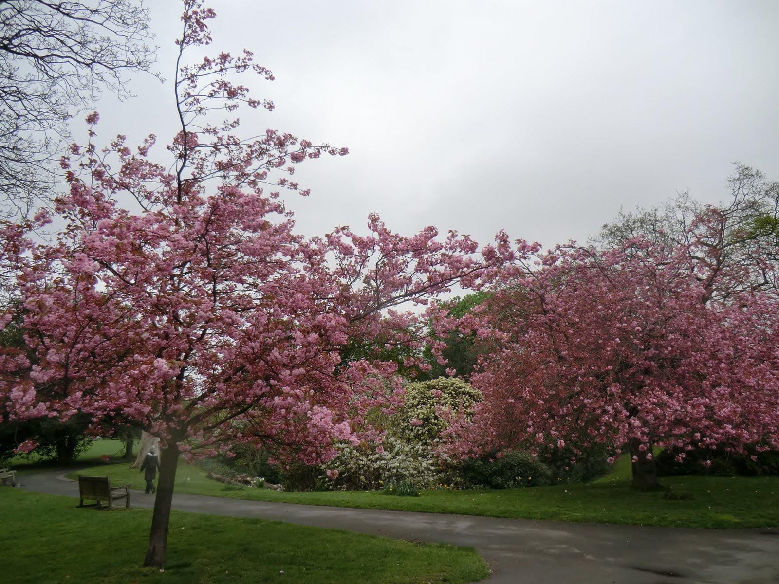 CIMG0352 Spring blossom, Greenwich Park