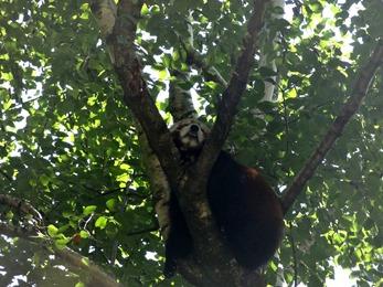2018.08.21-002 panda roux