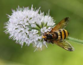 Photo: Volucella inanis  Diptera > Syrphidae