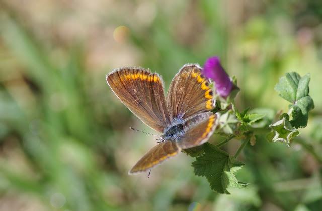 Polyommatus escheri (Hübner, 1823), ♀. Les Hautes-Courennes. Saint-Martin-de-Castillon (Vaucluse), 17 juin 2015. Photo : J.-M. Gayman