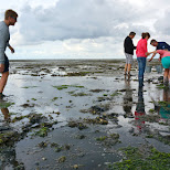 oyster harvesting on Texel in Texel, Noord Holland, Netherlands