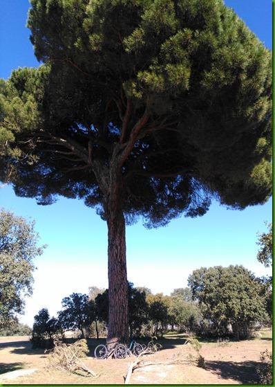 pino de gema (3)