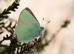 grøn busksommerfugl6.jpg