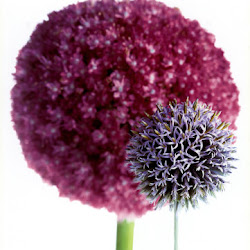 Allium's profile photo