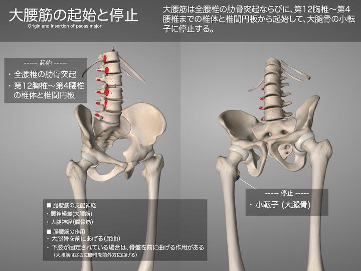 2014-28a_03_大腰筋の起始停止.png