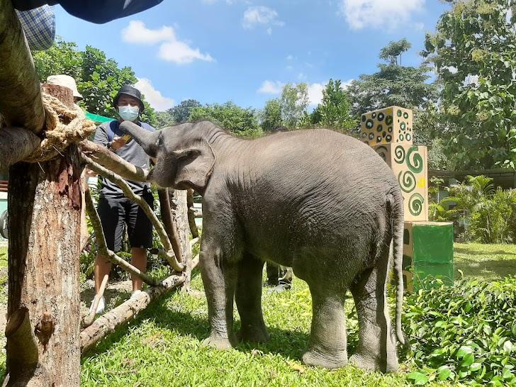 Ultah Pertama Arinta, Anak Gajah Koleksi GL Zoo Dirayakan Bersama Pengunjung