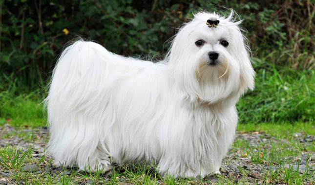 Giống Chó Maltese. Mua bán chó maltese giá bao nhiêu? Cách nuôi chó Maltese