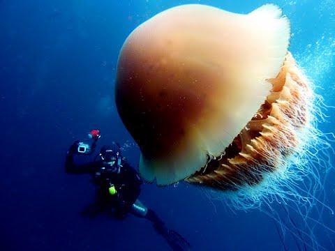 巨大クラゲ