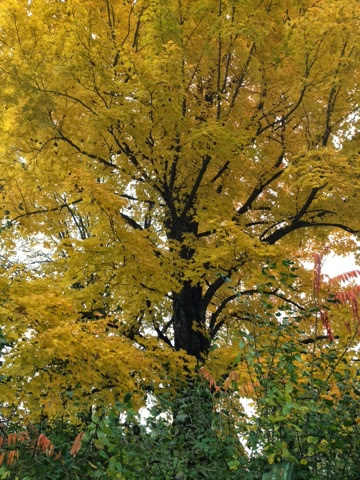 Nature Study: Love that autumn maple color!