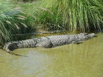 2018.08.21-004 crocodile