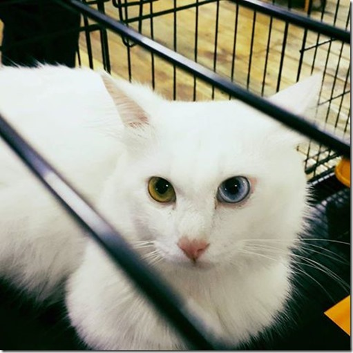kucing-comel-mata-biru-maha-2016