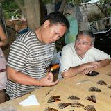 Morpho hecuba hecuba LINNAEUS, 1771. Chez un collecteur de Cacao (Guyane), 27 novembre 2011. Photo : C. Renoton