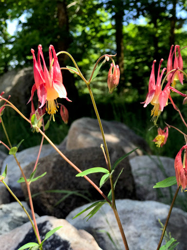 Also a good crop of columbine flowers this year. June 6th, 2017