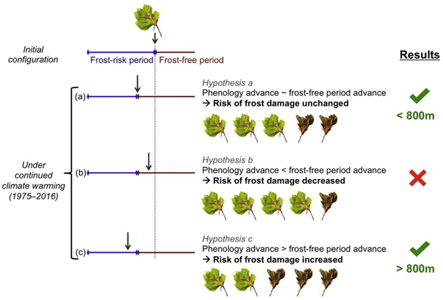 Theoretical hypotheses on how the risk of spring frost damage to trees could change under climate warming. Hypothesis a, the risk of frost damage remains unchanged because both phenology and the frost-free period advance to the same extent. Hypothesis b, the risk of frost damage decreases because phenology advances less than the frost-free period. Hypothesis c, the risk of frost damage increases because phenology advances more than the frost-free period. Graphic: Vitasse, et al., 2017 / Agricultural and Forest Meteorology