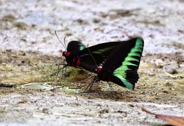 Trogonoptera brookiana brookiana Wallace, 1855, mâles. Crocker Range, Sabah (Malaisie), 7 août 2014. Photo : T. Boucher