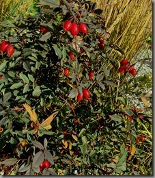 Rosa glauca and Calamagrostis x acutiflora 'Eldorado'