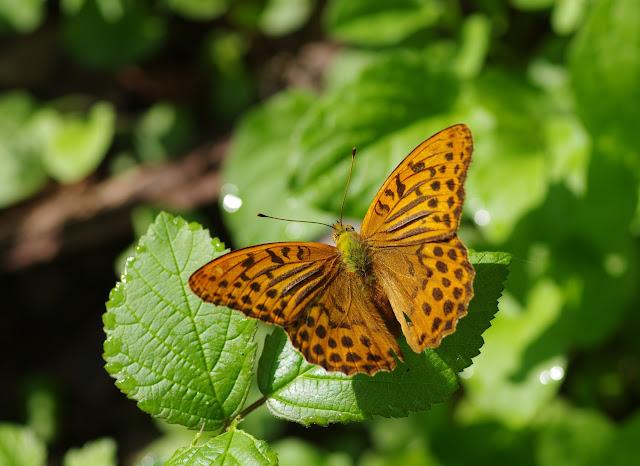 Argynnis paphia (L., 1758), mâle. Cocurès (Lozère), 6 août 2013. Photo : J.-M. Gayman