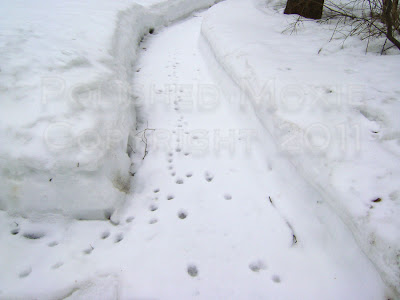 Picture of animal tracks in the snow