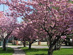 Spring beauty on S. Plymouth