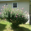 Rose of Sharon update