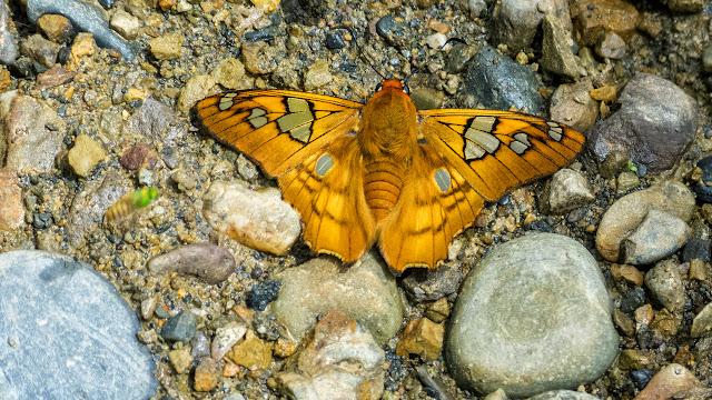 Myscelus phoronis phoronis (Hewitson, 1867). 3 km est de Caranavi, 675 m (Yungas, Bolivie), 17 décembre 2014. Photo : Jan Flindt Christensen
