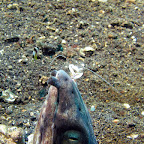 Snake eel and cleaner shrimp (Lembeh Strait)