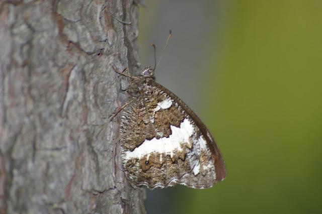 Brintesia circe FABRICIUS, 1775. Bages (Pyr. Orientales), 26 juin 2010. Photo : J.-M. Gayman
