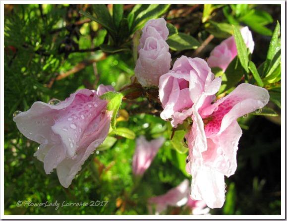 01-07-azaleas