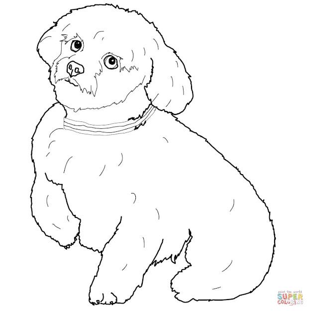 Short Hair Maltese Dog