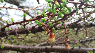 signs of spring - Larch