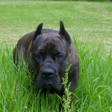Tracey Robinson (Fire And Ice Cane Corso)