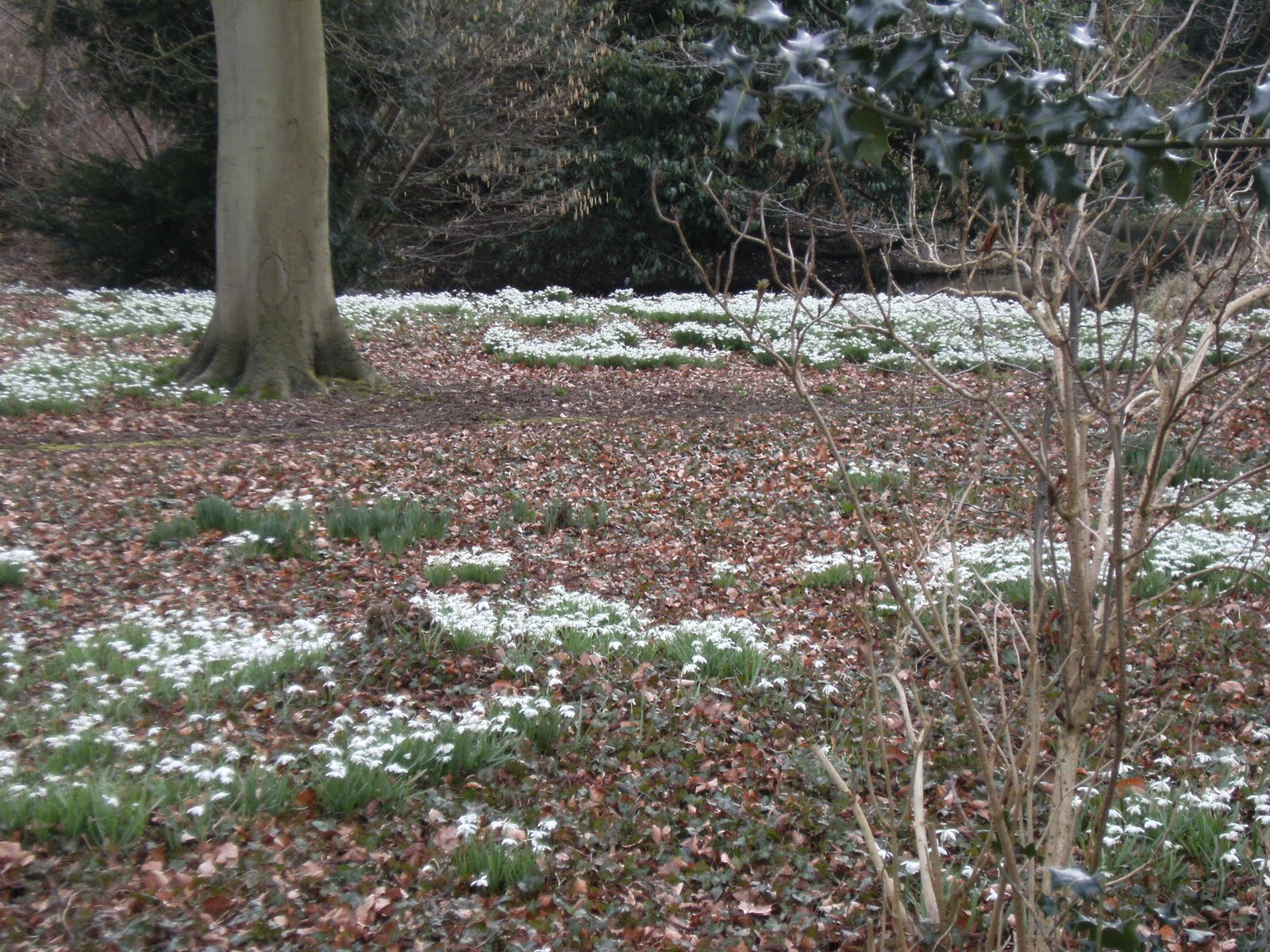 1003130007 Snowdrops in wood near Little Missenden