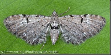 7586.1 Wormwood Pug (Eupithecia absinthiata)