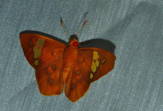 Hesperiidae : Pyrginae : Chaetocneme beata (HEWITSON, 1867). Umina Beach (NSW, Australie), 25 décembre 2011. Photo : Barbara Kedzierski
