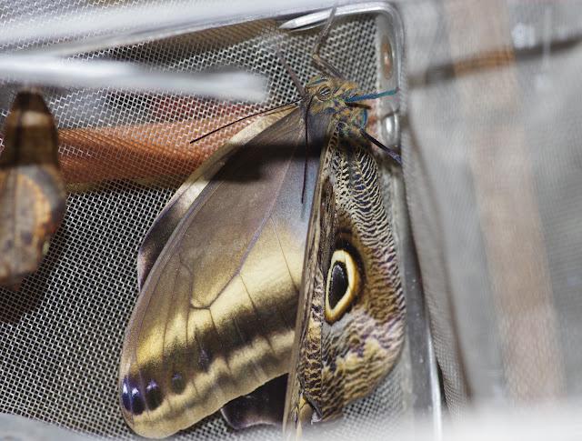 Émergence du premier imago (femelle) de Caligo oileus oileus C. Felder & R. Felder, 1861. Paris, le 28 décembre 2015. Photo : J.-M. Gayman