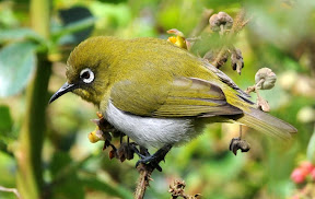 Sri Lankan White-eye