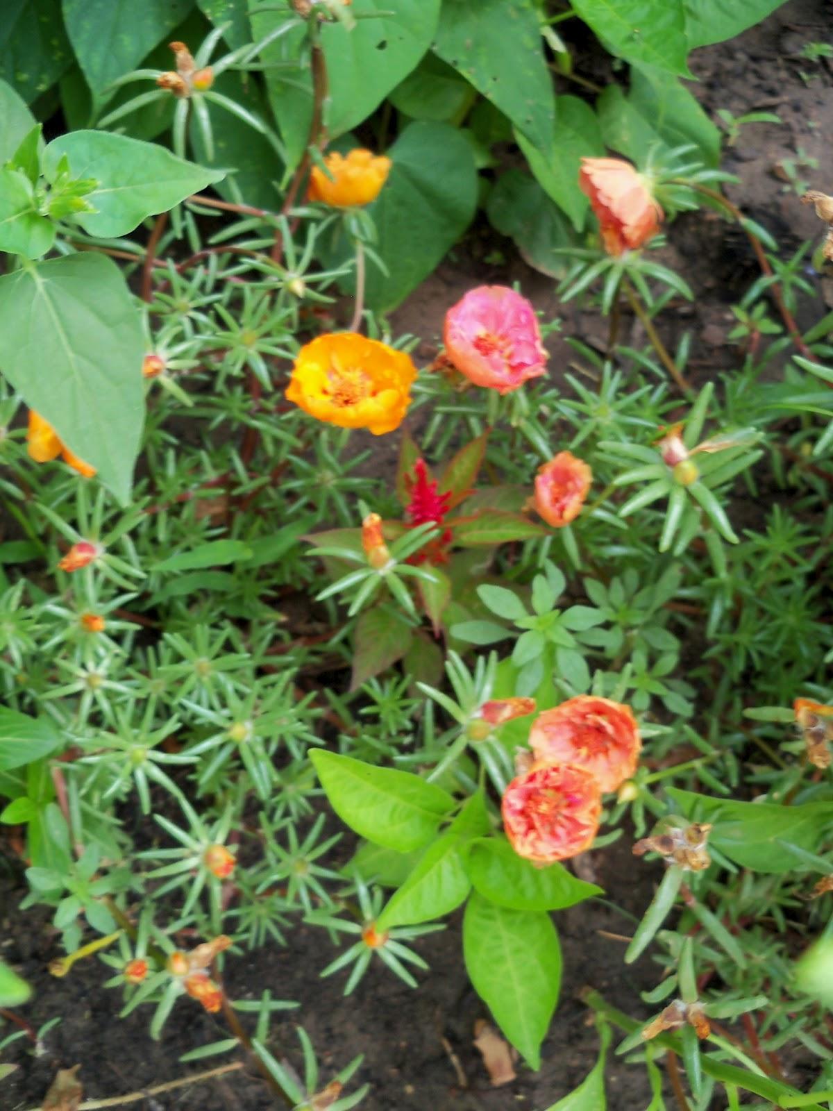 Gardening 2011 - 100_8185.JPG