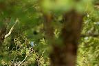 LA FLECHE BLEUE   Martin-pêcheur sur un étang bressan.