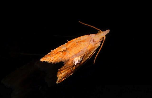 Tortricidae : Tortricinae : Epiphyas xylodes MEYRICK, 1910. Umina Beach (NSW, Australie), 18 octobre 2011. Photo : Barbara Kedzierski