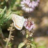 Aricia agestis, probablement. Au-dessus du Col de Bacinu (800 m), Corse du Sud, août 2006. Photo : J.-M. Gayman