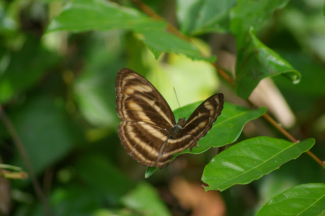 Athima nefte mathiola FRUHSTORFER, femelle. Lot n°2, Sukau (Sabah), 15 août 2011. Photo : J.-M. Gayman